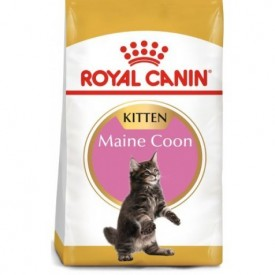 Royal Canin Gato Kitten Maine Coon - 1