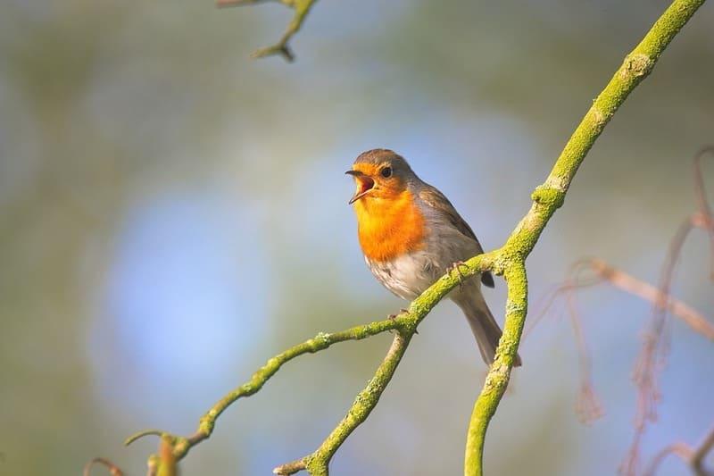 cantos de pájaros