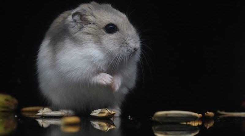el hamster ruso cuidados y necesidades