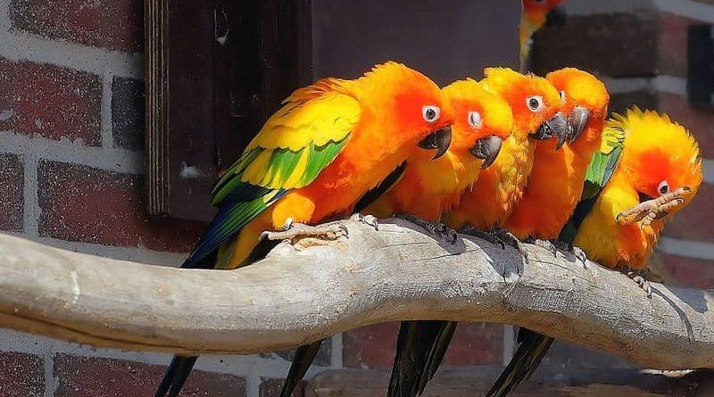 Cuáles son los pájaros que hablan