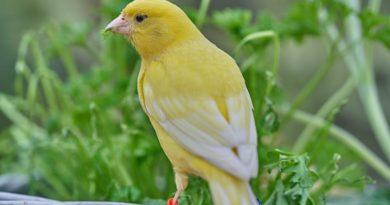 que comen los canarios