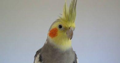 que tipos de pájaros ninfa hay