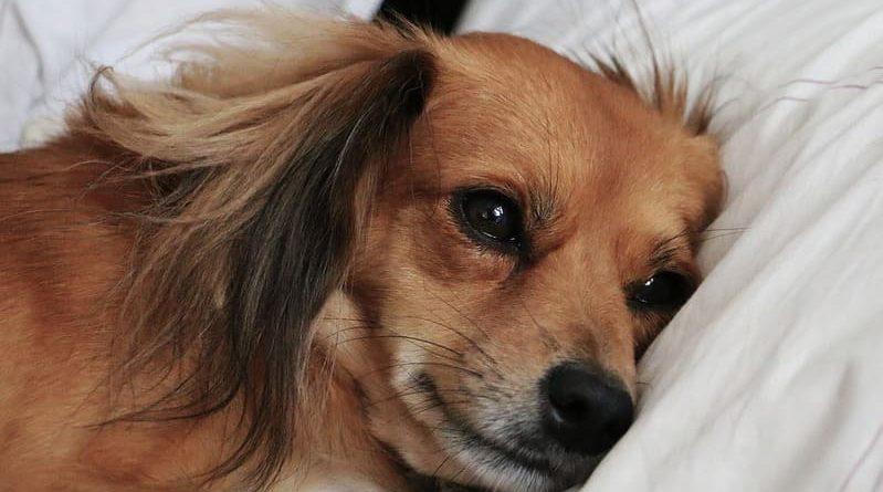 Cómo evitar la perro otitis