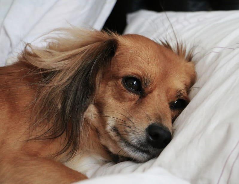 antibioticos para tratar otitis en perros