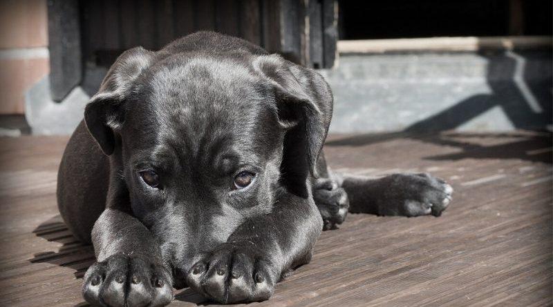 insuficiencia renal perros