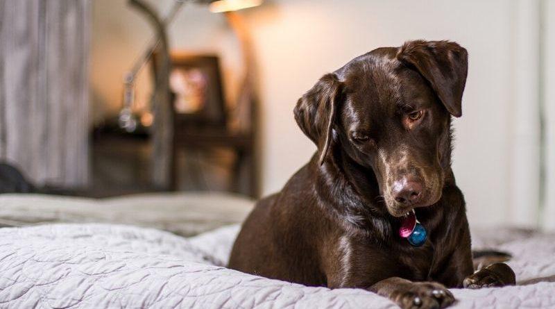 como tratar dermatitis en perros