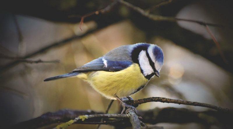 vitaminas para la cría de aves