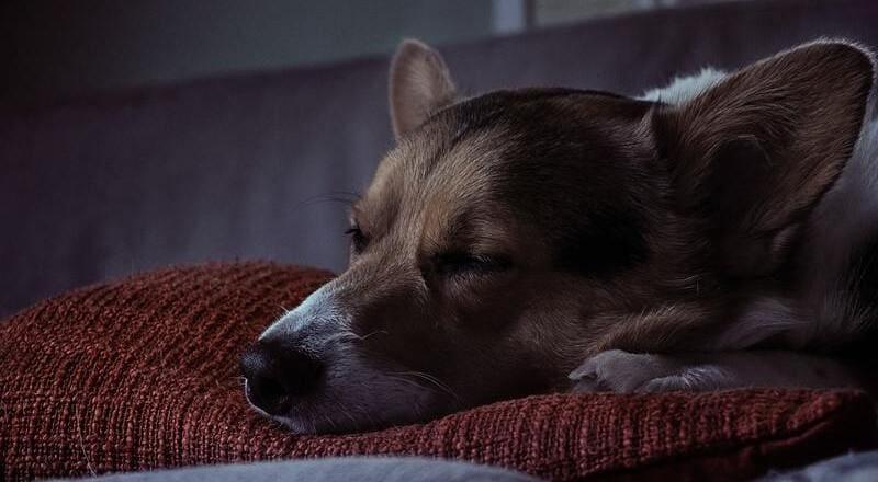 como dormir a un perro