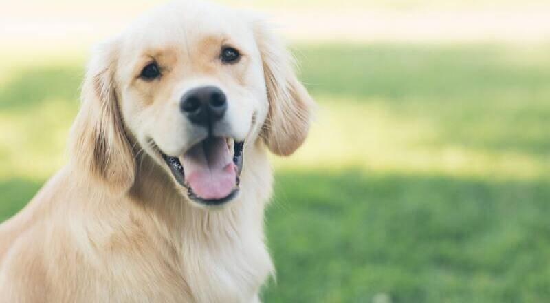 consulsiones en perros